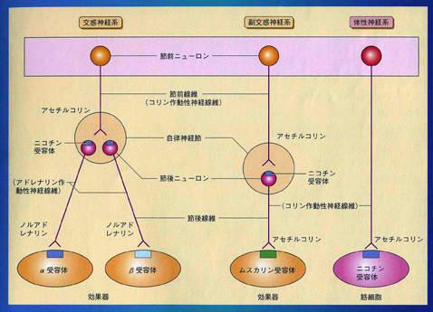 ニコチン受容体 ムスカリン受容体が存在する部位を示す図