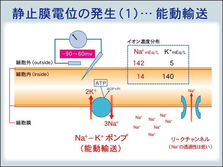 能動輸送による膜電位形成についてまとめた図