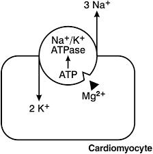 マグネシウムがNa/Kポンプを活性化するよ過程を示す図