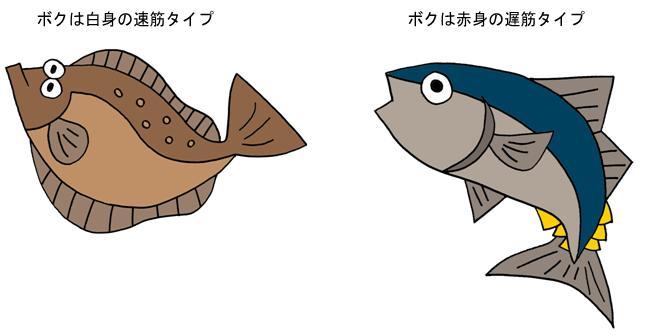 ヒラメ(白筋)とカツオ(赤筋)