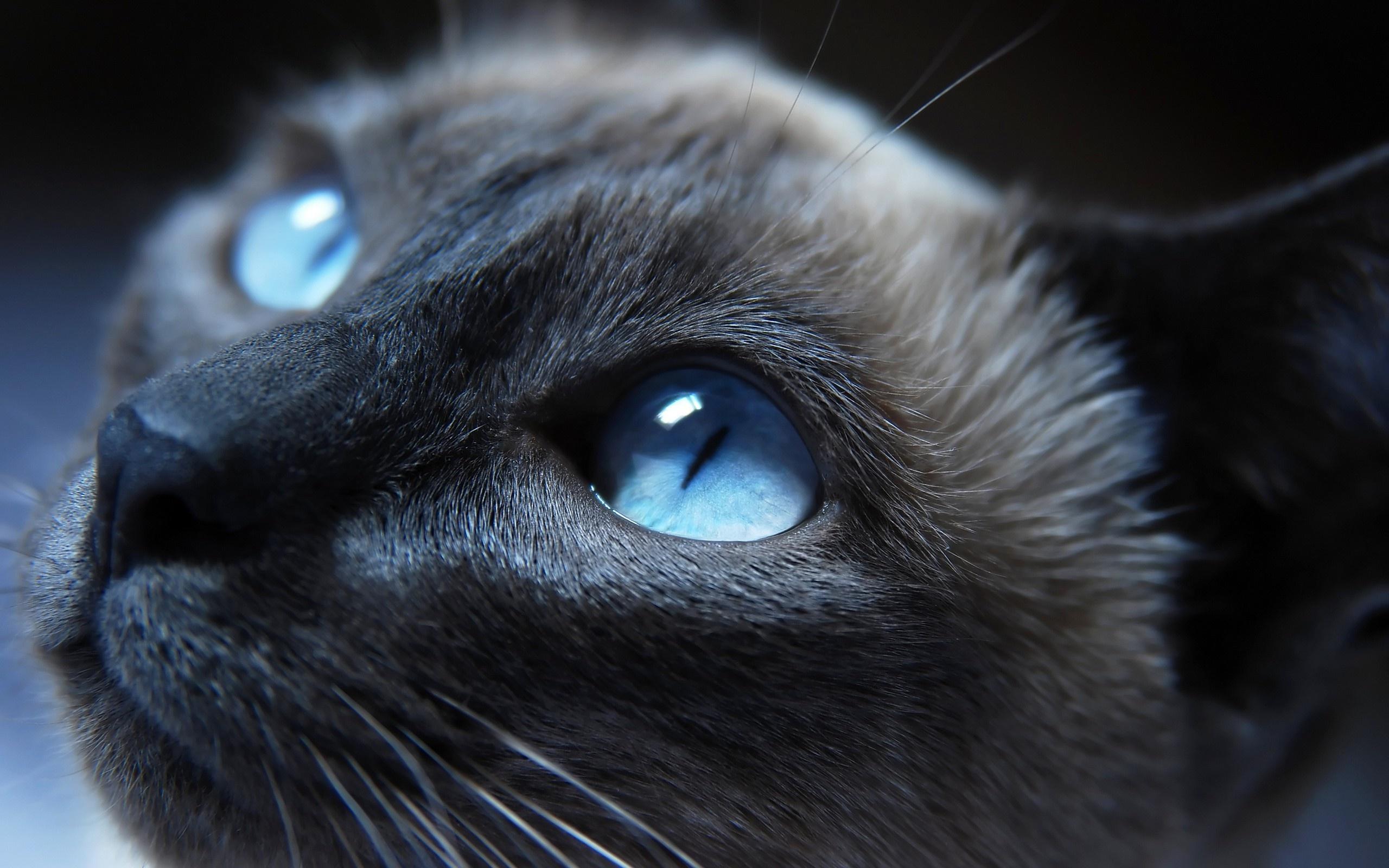 見つめる青い目の黒ネコ