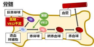骨髄における赤芽球への分化過程・DNA合成段階でビタミンB12と葉酸が必要とされることを示す図