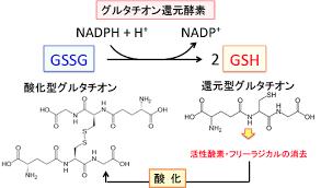 グルタチオンペルオキシダーゼの働きを示す図