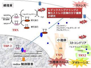 チオレドキシンのレドックス制御を示した図