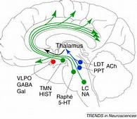 モノアミン投射系の脳内投射経路を示す図
