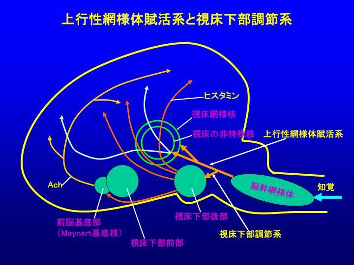 ヒスタミン作動性神経の脳内投射経路を示す