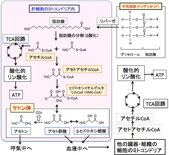 ミトコンドリア内で脂肪が代謝されケトン体が出てくる過程を示した図