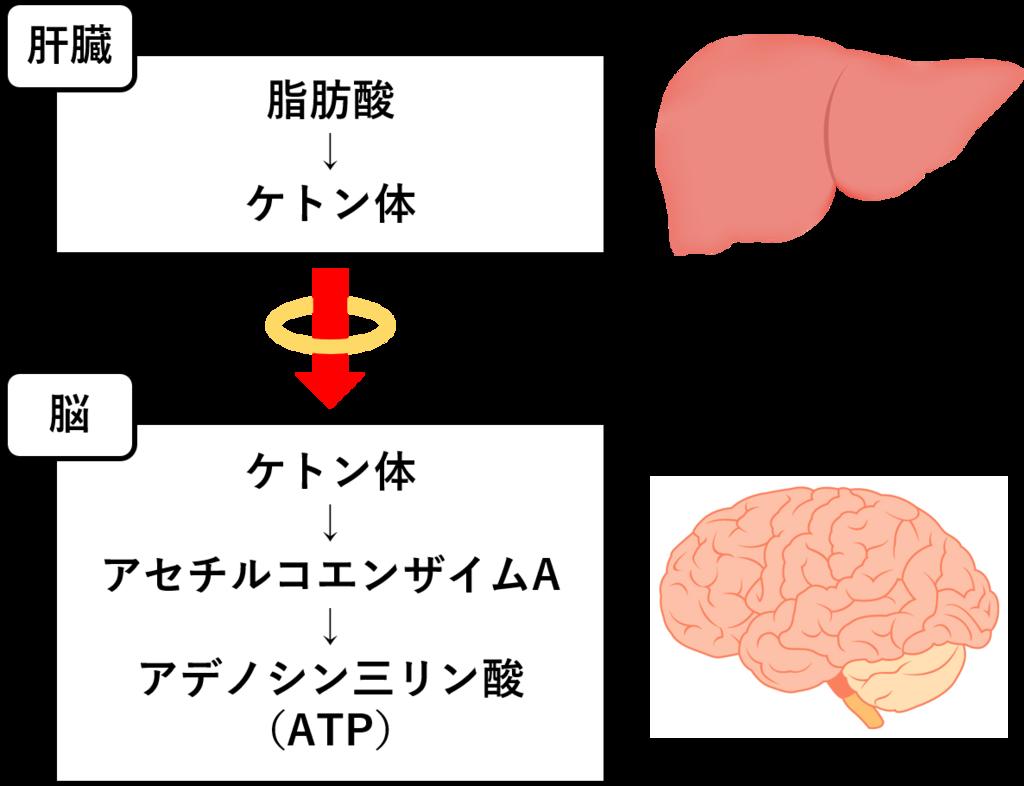 ケトン体が脳でエネルギー源として使用されることを示した図
