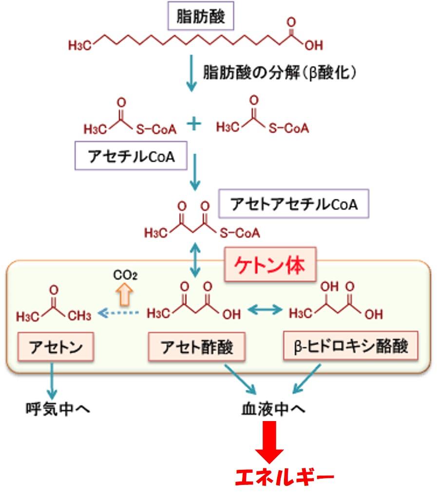 脂肪酸から3種類のケトン体ができる過程を示した図
