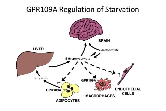 HCAR2(GPR109A)を介したさまざまな作用をまとめた図