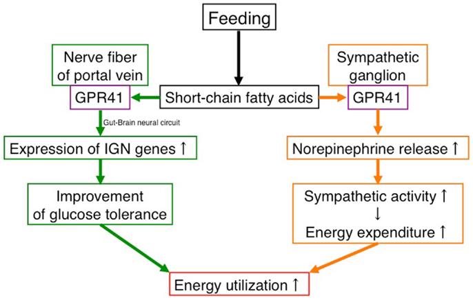 FFAR3(GPR41)を介したさまざまな作用をまとめた図