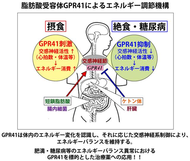 GPR41のエネルギー調節機構をまとめた図