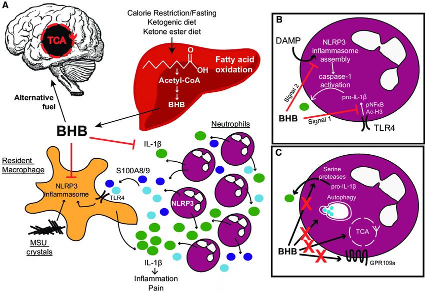 βヒドロキシ酪酸の抗炎症作用を説明する図