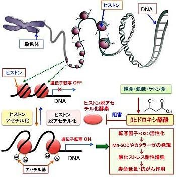 βヒドロキシ酪酸のエピジェネテイクス制御を説明する図