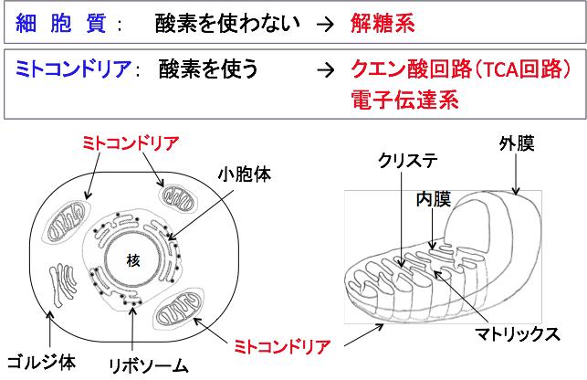 解糖系が細胞質で酸素を使わずに働いていることを示す図