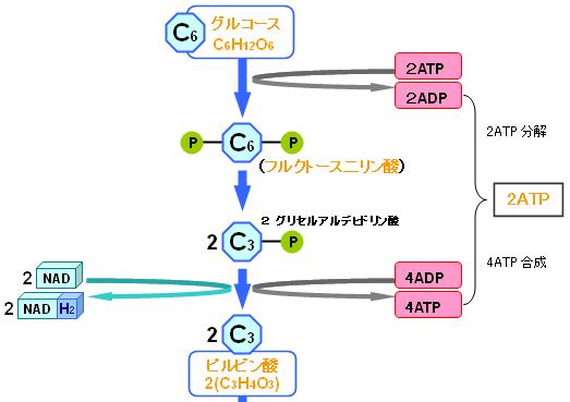 解糖系でグルコースから2分子のATPが得られる過程を説明した図