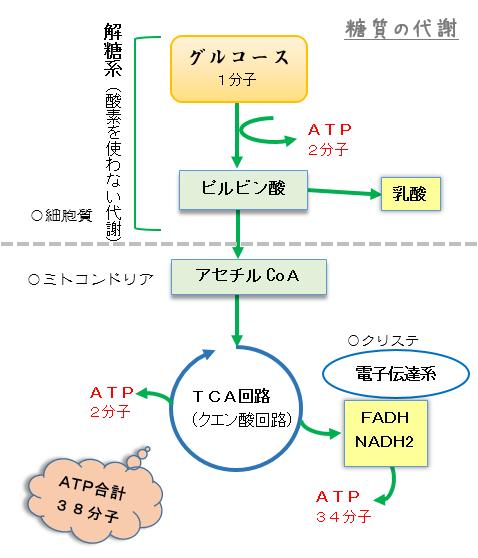 解糖系で得られたピルビン酸が次のTCA回路で利用されることを示す図