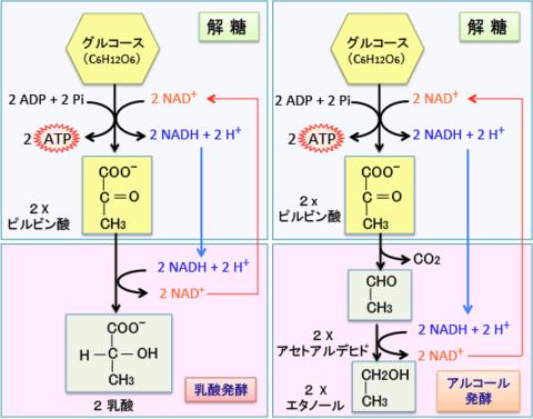 アルコール発酵の解説図