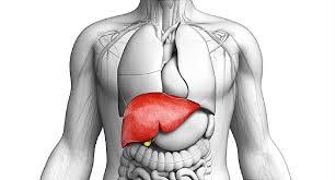 体の中の肝臓の位置を示す図