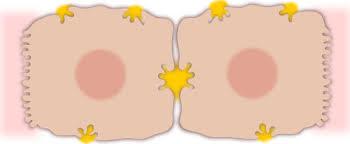 毛細胆管の存在を示す図