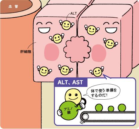 AST ALTのことを説明する図