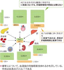 ASTは 肝細胞以外にも 心筋 骨格筋 赤血球などにも存在することを示す図
