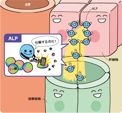 ALPの働きを示す図