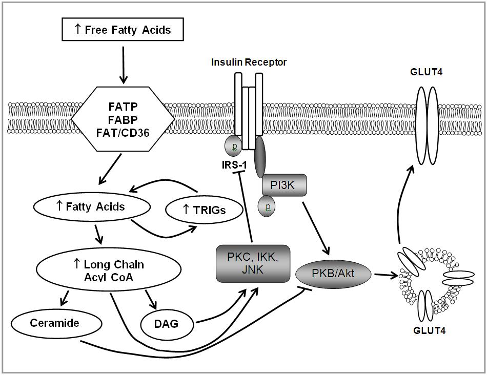 脂肪毒性により誘導されるインスリン抵抗性の分子機序の解説図