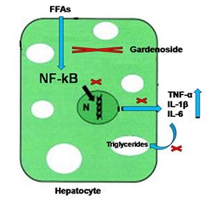 脂肪毒性により誘導される炎症の分子機序の解説図