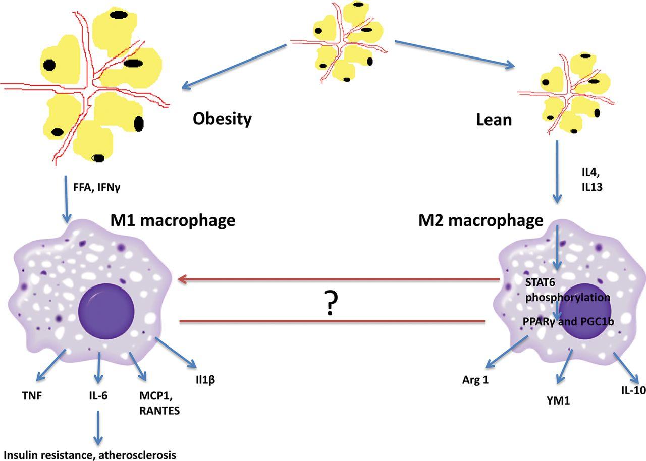 慢性炎症がM1マクロファージを誘導してインスリンを分泌する膵臓のβ細胞の機能障害をもたらすことの説明図