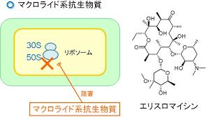 マクロライド系抗生剤の構造と作用機序を示す図