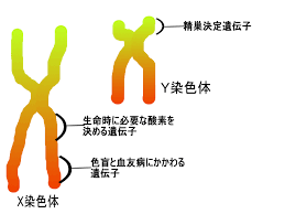 X染色体 Y染色体   高橋医院