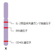 X染色体に存在する免疫に関する遺伝子