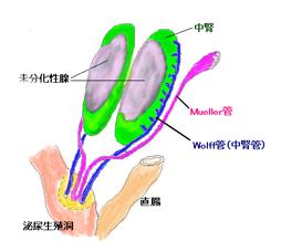ミュラー管とウオルフ管の図示