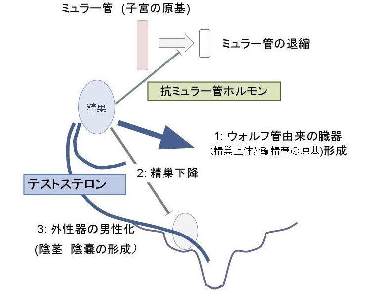 抗ミュラー管ホルモン テストステロンの働きで女性生殖器が消えてなくなる機序の説明図