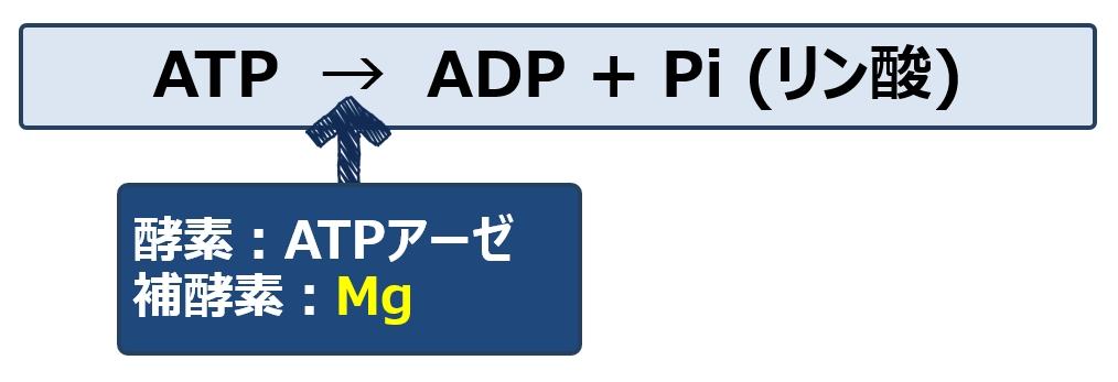 ATP分解によるエネルギー産生に関わることを示す図