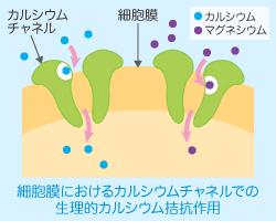 神経・筋の興奮性 血管収縮を調節への関与を示す図