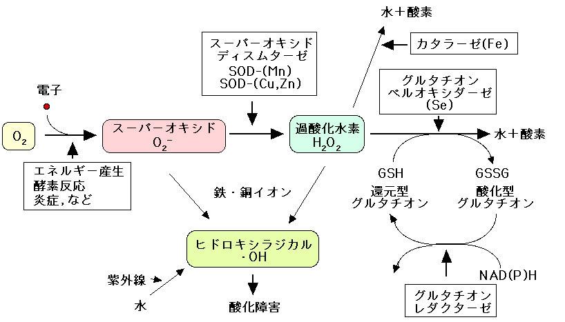 抗酸化反応への関与を示す図 width=