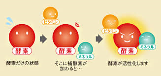 ミネラルとビタミンが共同で補酵素として機能することを示す図