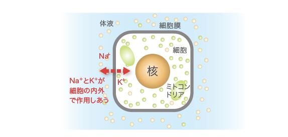 浸透圧の維持について説明する図