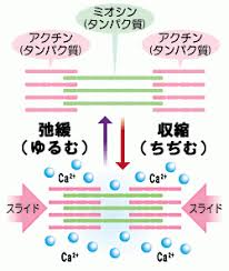 筋肉の収縮機序について説明する図