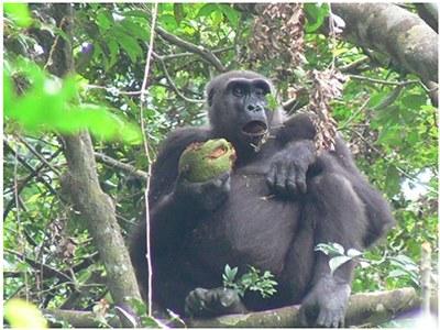 果実を食べる類人猿の姿