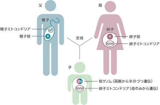 両親からのミトコンドリアDNAの遺伝形式を示した図