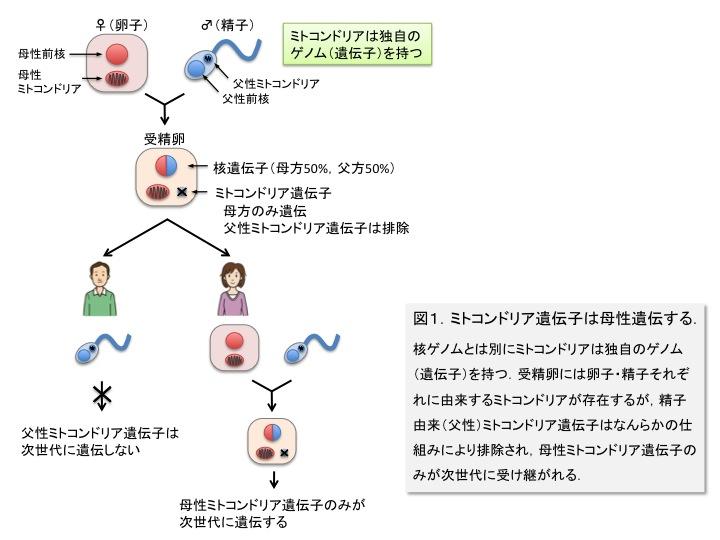 ミトコンドリアDNAの母性遺伝を示した図