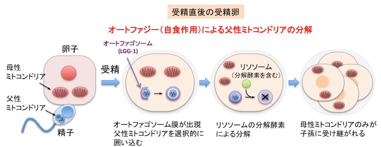 オートファジーによる父方のミトコンドリアDNAの分解を示した図