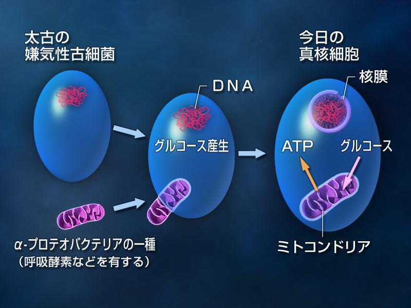 酸素を使わない生物(真核細胞)に潜り込んで共生するようになったミトコンドリア