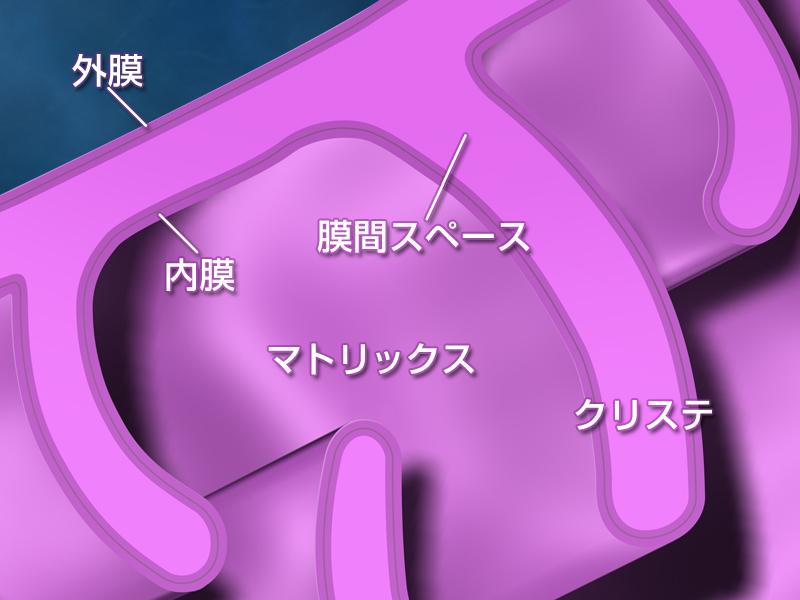 ミトコンドリアの内膜 外膜 クリステの関係を示す図