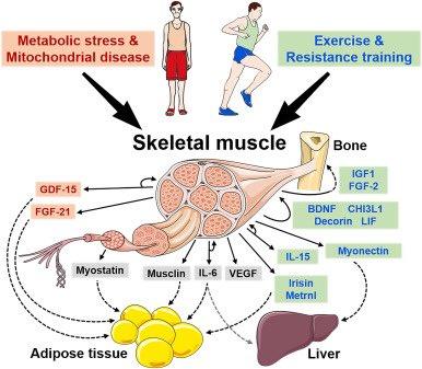 代謝や運動によるマイオカイン分泌を介した筋肉 肝臓 脂肪組織などの間のクロストークの解説図