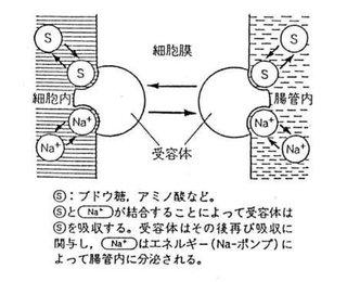 糖やアミノ酸のナトリウムとの共輸送についてまとめた図