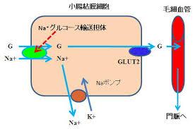 栄養素を細胞内に取り込む現象に ナトリウムは貢献していることを示す図